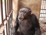 un singe qui fume...