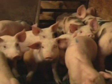 Swine flu reaches Britain