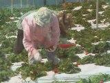 Hawaiian Grown TV - Kula Strawberries - Promo