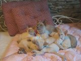 "Mes chats Siamois : ""Des petits pumas"""