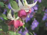 Floralies séduction fuchsia