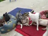 Chihuahua jeu Bubba Archie Dragibus