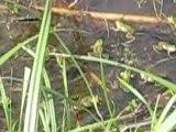 grenouilles mare de Lestrem mai 2009