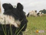Elevage - Des chiens pour manipuler son troupeau