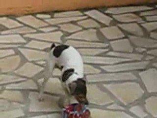 Terrier Bresilien Athos