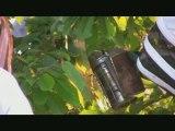 capture d'un essaim d'abeilles