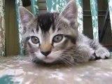 El Generico's Tabby Kitten Meowing